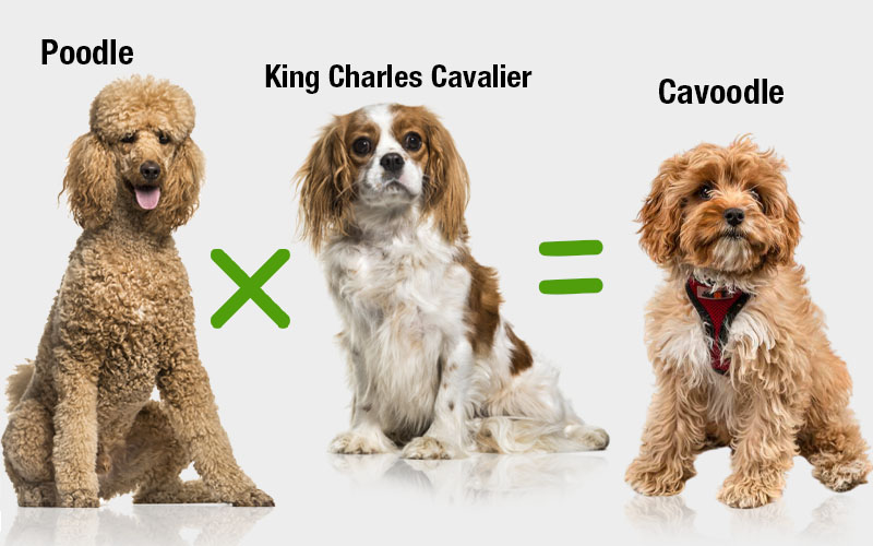 Cavoodle Is An Adorable Cross