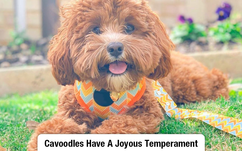 Cavoodle Temperament Is One To Die For
