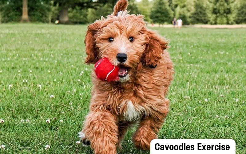 Cavoodles require 45 minutes of daily exercise
