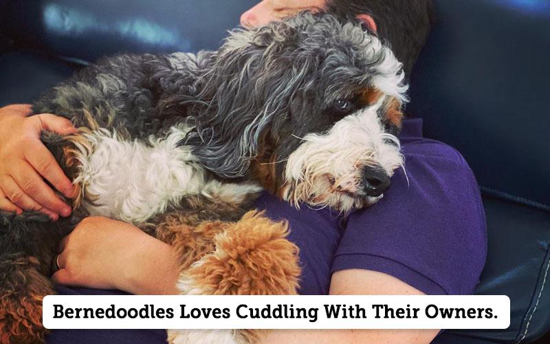 Do Bernedoodles Like to Cuddle