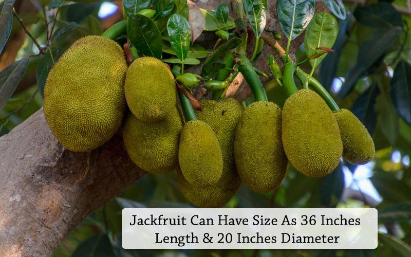 Jackfruit Size