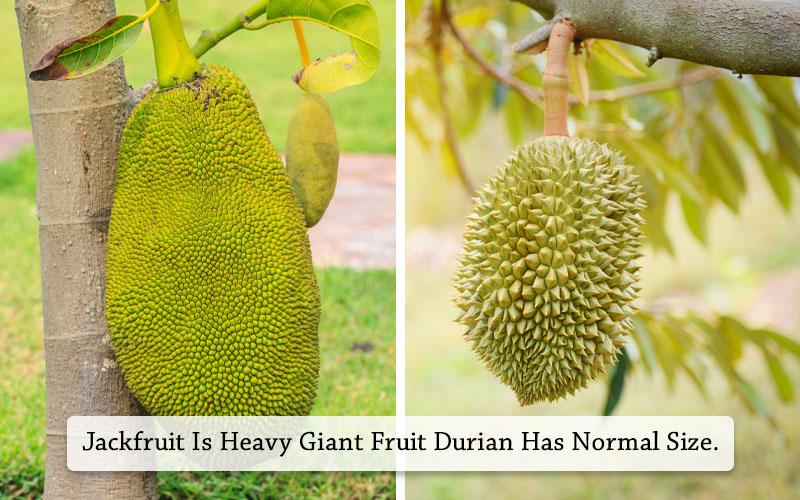 Jackfruit Vs Durian different in size