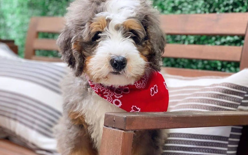 Merle healthy Bernedoodle pictures