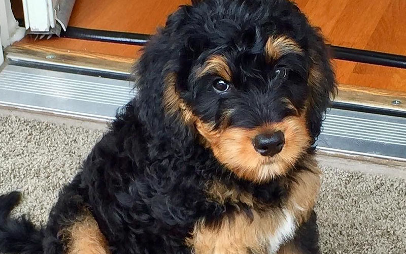 Phantom healthy Bernedoodle pictures