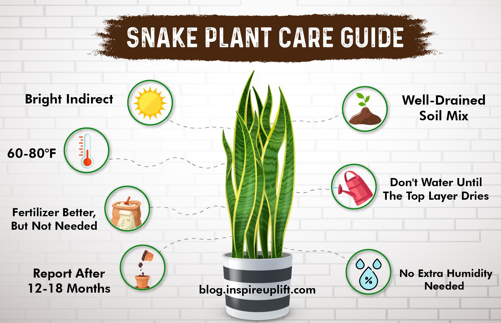 Snake plant info