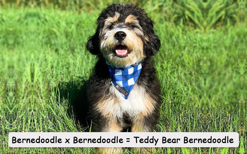 Teddy Bear Bernedoodle picture