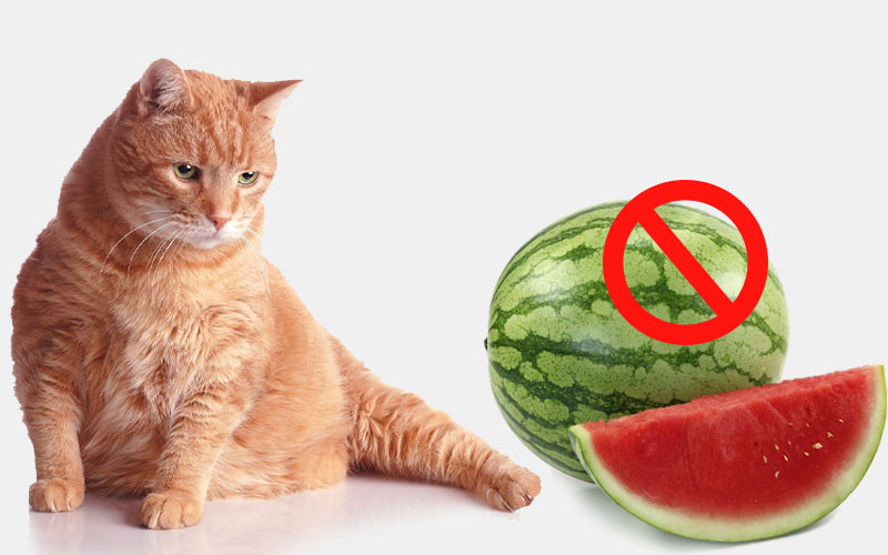 Watermelon Is Harmful For Cats With Diabetes