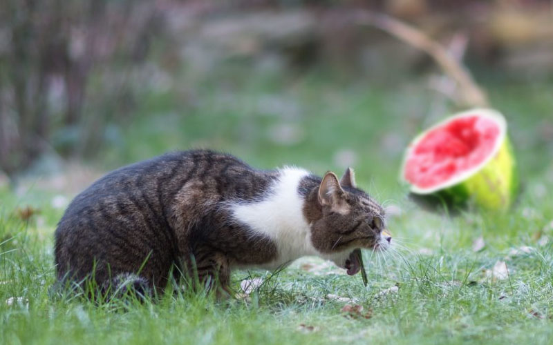 Watermelon Seeds Cause Diarrhea In Cats