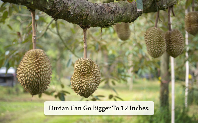 durian size