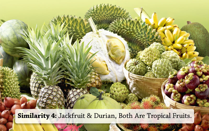 jackfruit and Durian Both Are Tropical Fruits