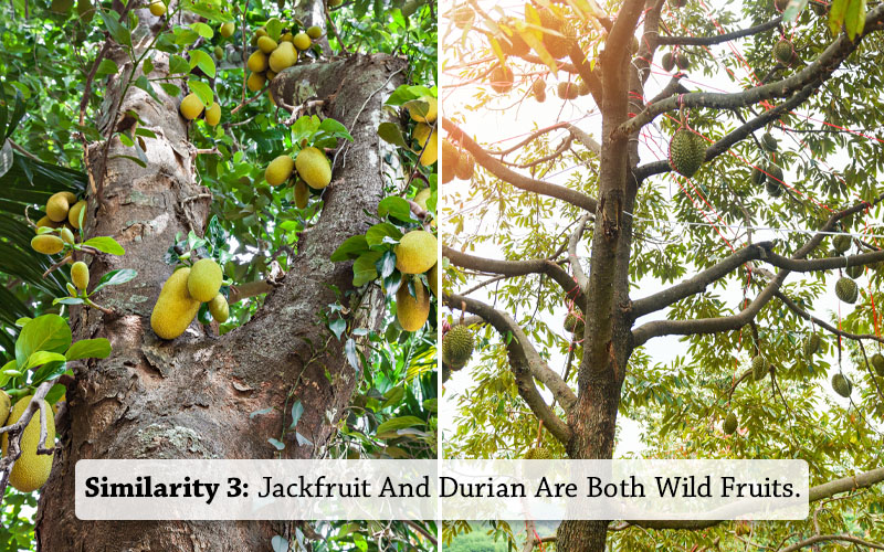 jackfruit and Durian Both Grow in Jungles
