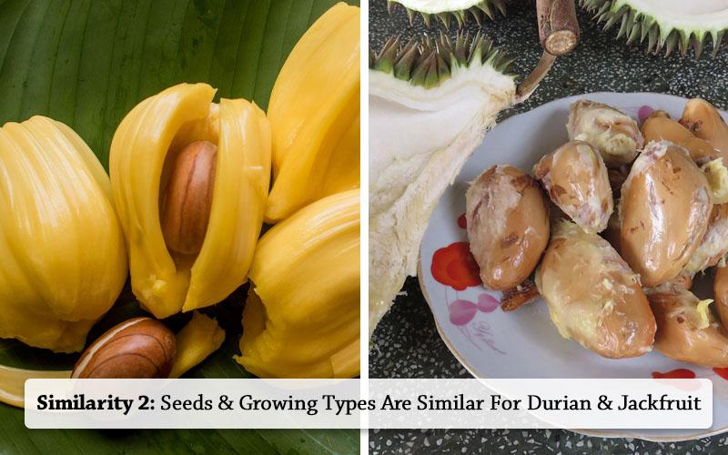 jackfruit and Durian(Jackfruit Durian both have alike anatomical structure)