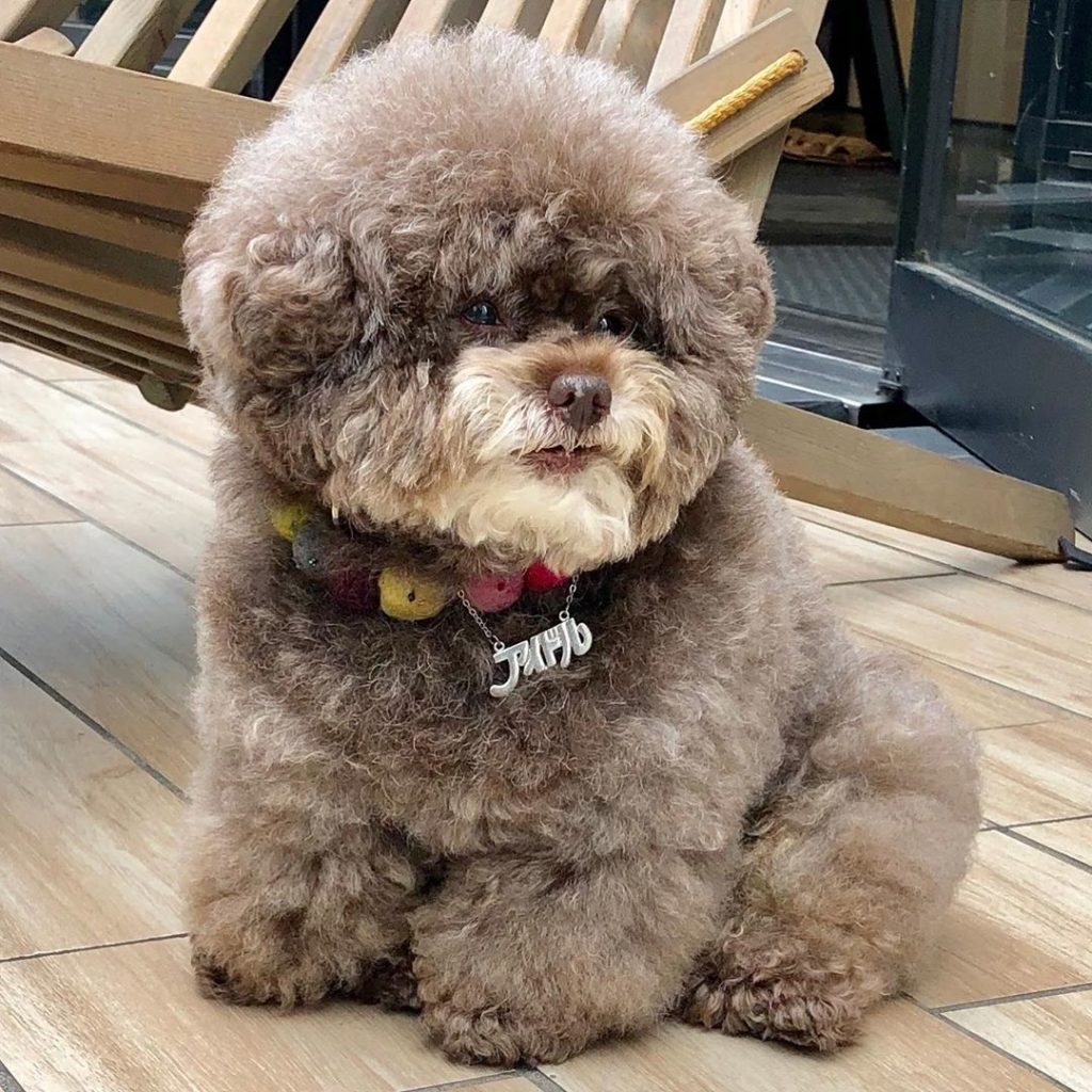 It's SO Fluffy! Poodle With Human-Like Expressions Is Going Viral