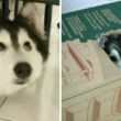 Adorable Husky Raised By Cats Acts Just Like A Cat
