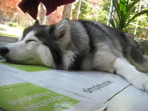 Adorable Husky Raised By Cats Acts Just Like A Cats