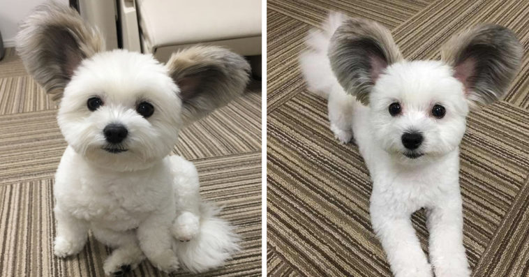 Dog With Big Fluffy Ears Is The Perfect Mickey Mouse Look-Alike