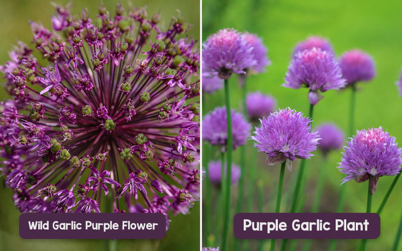Purple Garlic Plant & Wild Garlic Purple Flower Looks Elegant