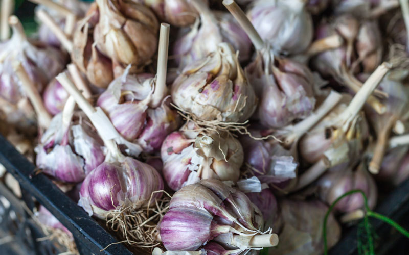 THE PURPLE GARLIC