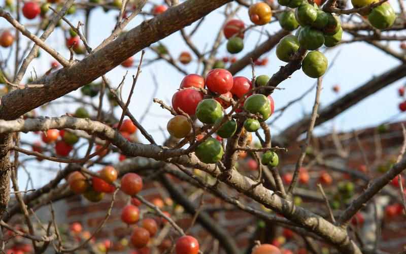What is Jocote Fruit