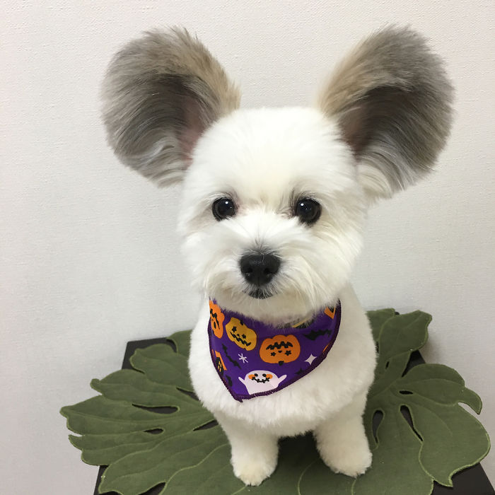 Dog With Big Fluffy Ears Is The Perfect Mickey Mouse Look-Alike 2