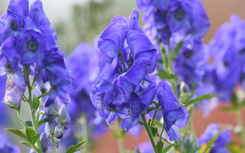 Aconite or Wolf's Bane