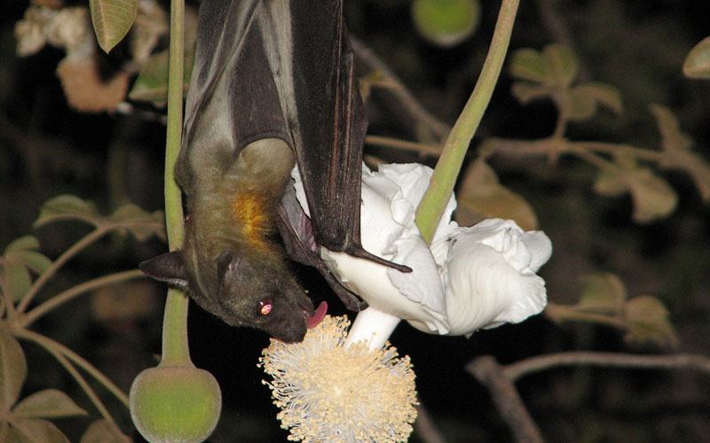 Baobab Is Pollinated By Bats