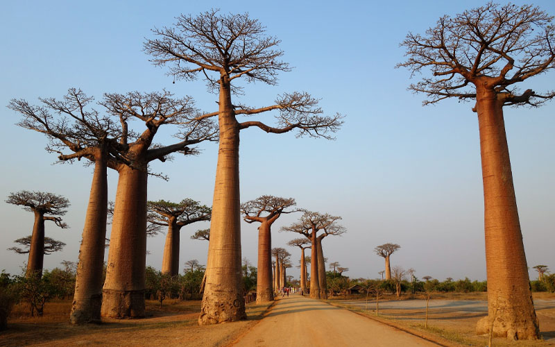 Baobab Trees are Nothing Less Than Skyscrapers