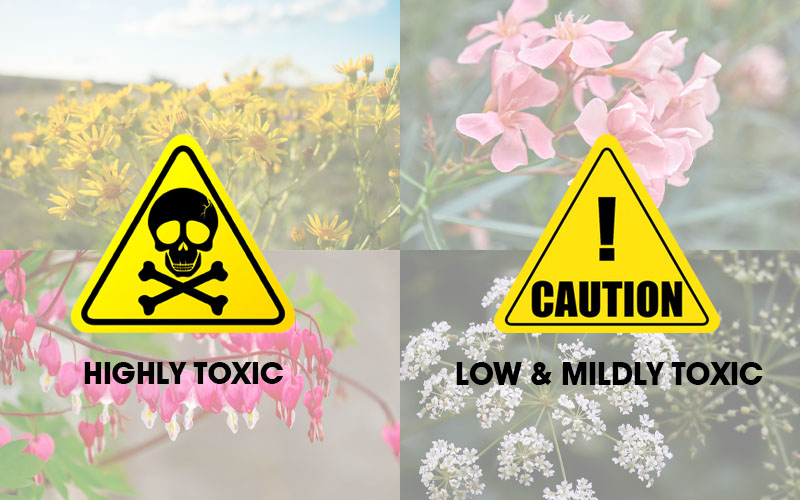 Degree of Toxicity Varies For Deadly Flowers