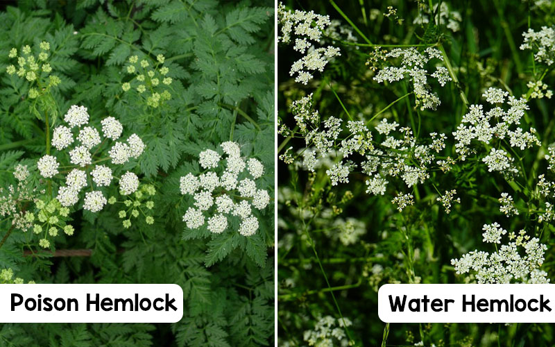 Water Hemlock and Poison Hemlock with labels