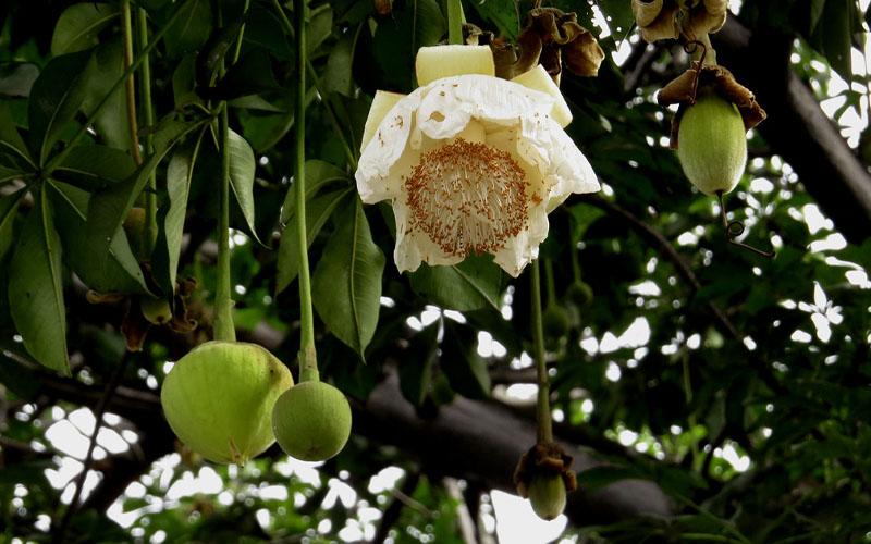 baobab tree flowers