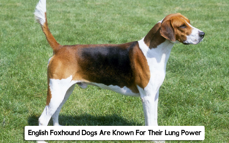 English Foxhound dog