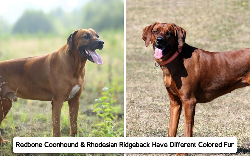 Redbone Coonhound Vs.Rhodesian Ridgeback