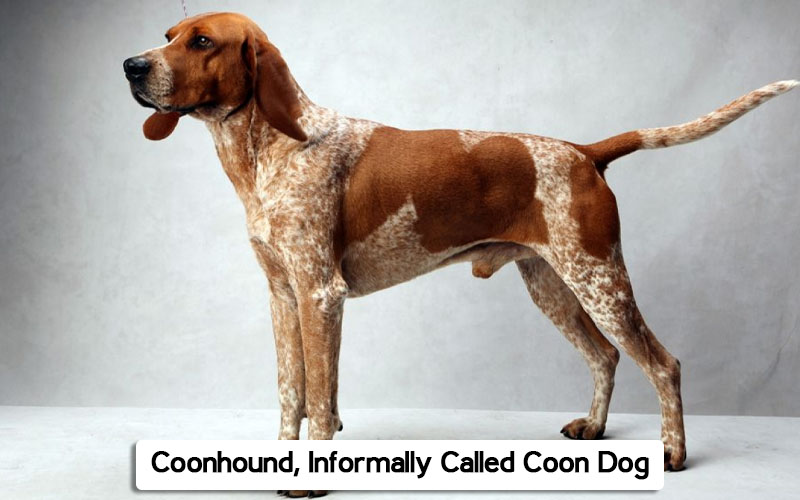 coonhound pic