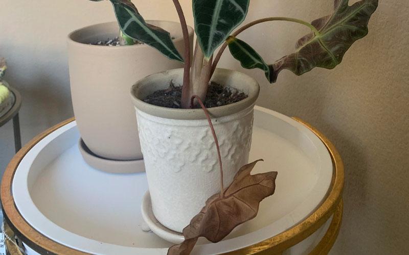 Drooping of Leaves