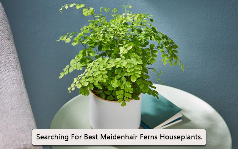 Maidenhair Fern image