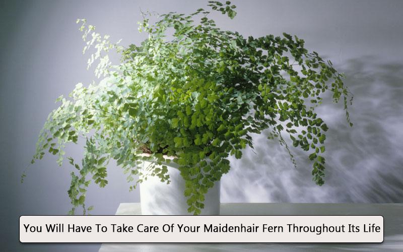 Maidenhair fern grow indoor
