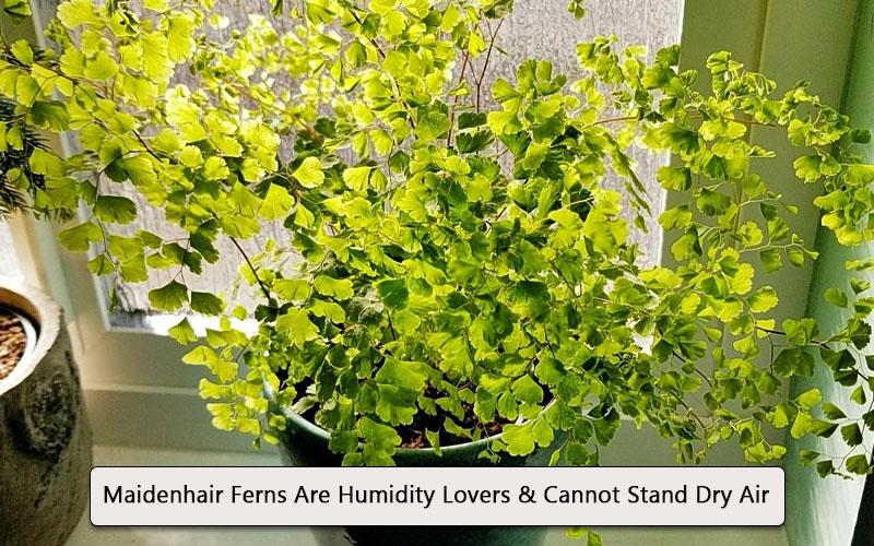 Maidenhair fern humidity
