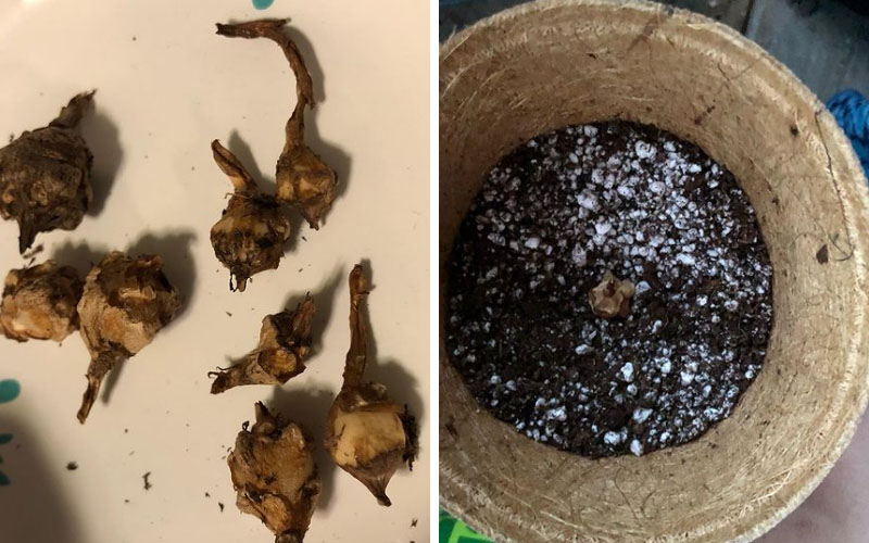 Step 2 – Replanting the Alocasia Bulbs