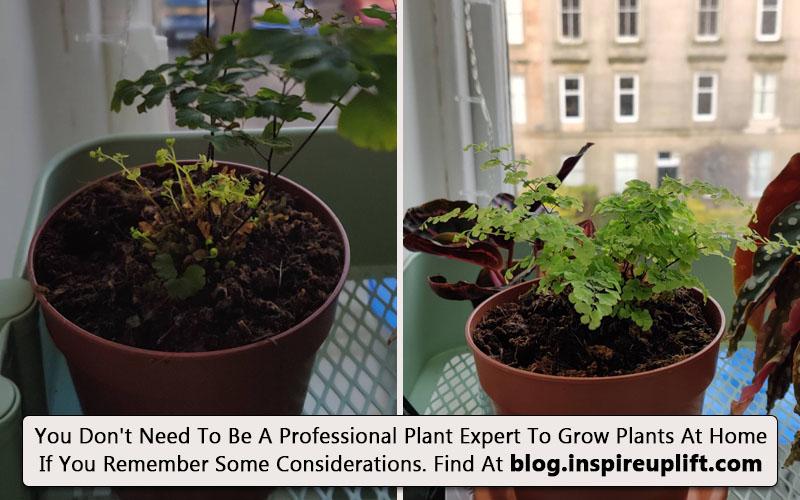 Step by step method to grow maidenhair fern