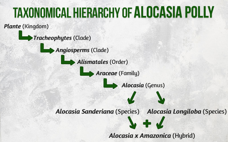 Taxonomical Hierarchy of Alocasia Polly