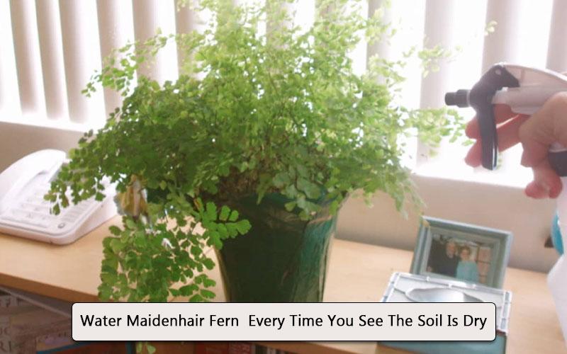 Watering Maidenhair fern