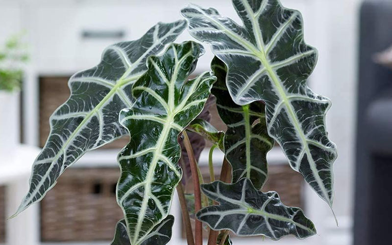 What is Alocasia Polly