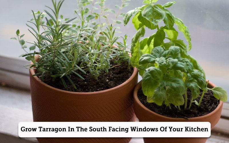 how to grow Tarragon sprigs