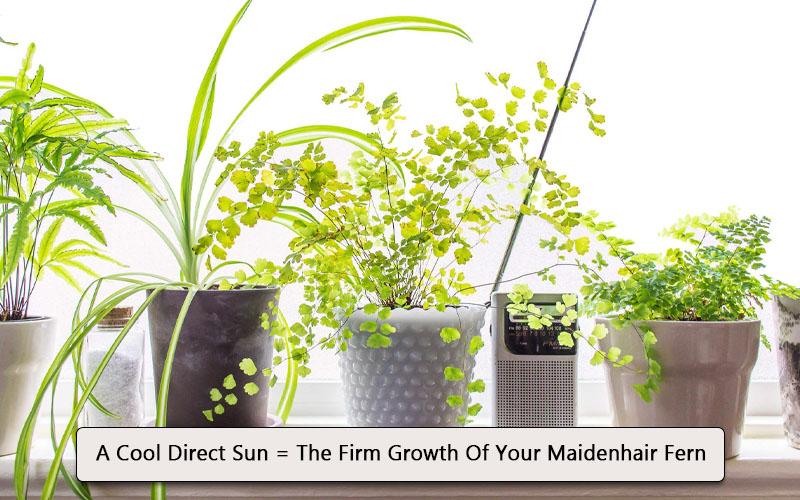 maidenhair fern, where to keep for firm growth