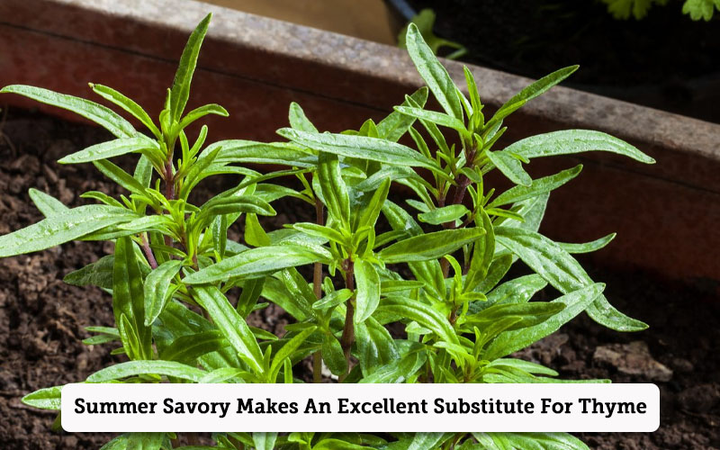 summer savory thyme substitutes