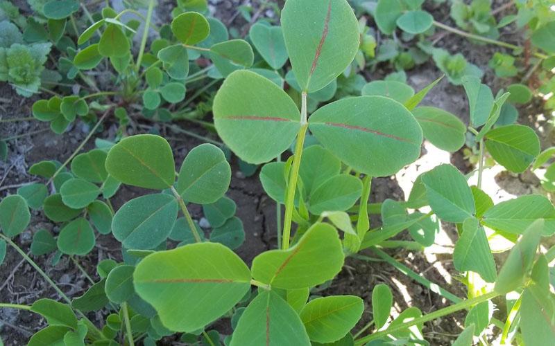 Alfalfa Leaves