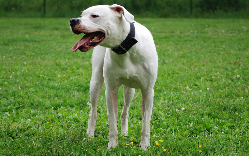 Dogo Argentino Powerfull dog