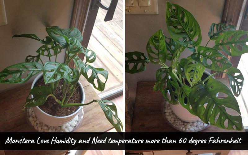 How to keep Monstera Adansonii Humidity