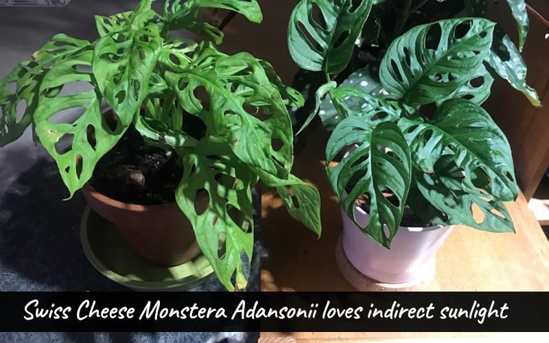 Monstera adansonii light requirement