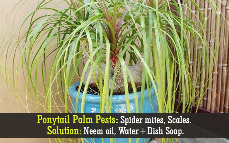 Ponytail palm pests